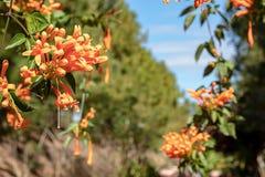 Belles fleurs ou venusta oranges de Pyrostegia dans le jardin photographie stock
