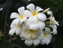 Belles fleurs parfumées blanches avec les centres jaunes d'exotique photo libre de droits