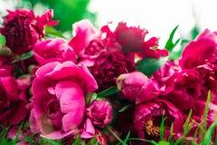 Belles fleurs, pivoines Bouquet de fond rose de pivoine Images stock