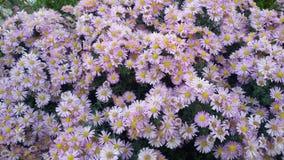 Belles fleurs pourprées Images stock