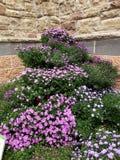 Belles fleurs pourprées photo libre de droits