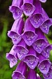 Belles fleurs pourprées Photos stock
