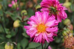 Belles fleurs pourprées Photo stock