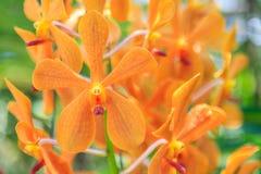 Belles fleurs pourprées d'orchidée Photos stock