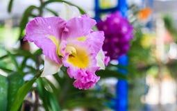 Belles fleurs pourprées d'orchidée Photo stock