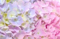 Belles fleurs pourprées et roses de Hydrangea Photographie stock