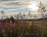 Belles fleurs pourpres au soleil Photo stock