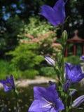Belles fleurs pourpres d'été de macro photo de Bell carpathienne Photos libres de droits
