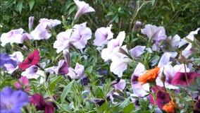 Belles fleurs pourpres d'été de pétunia banque de vidéos