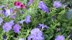 Belles fleurs pourpres d'été de pétunia clips vidéos