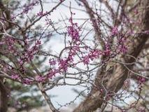 Belles fleurs pourpres d'arbre images stock
