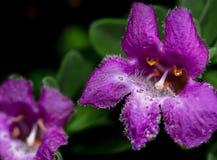 Belles fleurs pourpres d'arbuste urbain de désert Photos libres de droits
