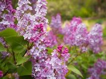Belles fleurs pourpres dans le jardin au printemps photographie stock