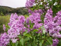 Belles fleurs pourpres dans le jardin au printemps photo libre de droits