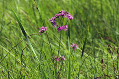 Belles fleurs pourpres dans le marais de Biebrza Photos libres de droits