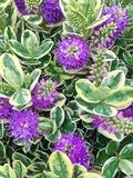 Belles fleurs pourpres de Speciosa de suppléments de Hebe photos stock