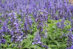 Belles fleurs pourpres en nature Image libre de droits