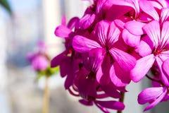 Belles fleurs pourpres roses magiques rêveuses féeriques sur le fond trouble fané Photo stock