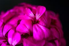 Belles fleurs pourpres roses magiques rêveuses féeriques sur le fond trouble fané Images stock