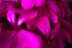 Belles fleurs pourpres roses magiques rêveuses féeriques sur le fond trouble fané Images libres de droits