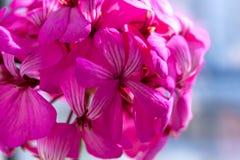 Belles fleurs pourpres roses magiques rêveuses féeriques sur le fond trouble fané Photographie stock libre de droits