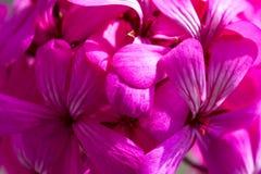 Belles fleurs pourpres roses magiques rêveuses féeriques sur le fond trouble fané Photos libres de droits