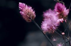 Belles fleurs pourpres roses sur le fond noir photographie stock libre de droits