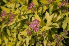 Belles fleurs pourpres sur un fond de feuillage jaune Plan rapproch? image stock