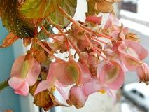Belles fleurs roses à l'hiver Photos stock