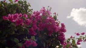 Belles fleurs roses banque de vidéos