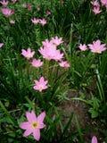 Belles fleurs roses Image libre de droits