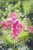 Belles fleurs roses au soleil plan rapproché, foyer sélectif Beau fond Photographie verticale photos stock