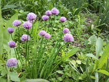 Belles fleurs roses d'oignon de jardin Photo libre de droits
