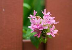 Belles fleurs roses dans la floraison Photographie stock