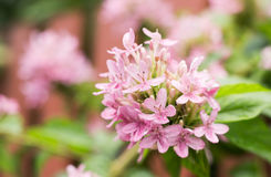 Belles fleurs roses dans la floraison Image libre de droits