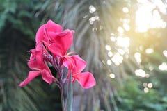 Belles fleurs roses dans le bord de la route de matin entre le trottoir t Images stock