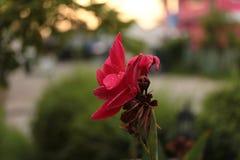 Belles fleurs roses dans le bord de la route de matin entre le trottoir t Image libre de droits