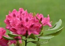 Belles fleurs roses dans le jardin Photos stock