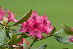 Belles fleurs roses dans le jardin Image stock