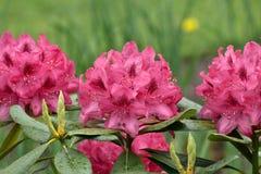 Belles fleurs roses dans le jardin Photo stock