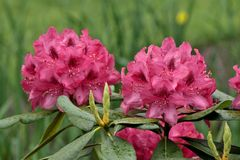 Belles fleurs roses dans le jardin Photographie stock libre de droits