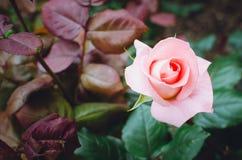 Belles fleurs roses dans le jardin photos libres de droits