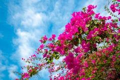 Belles fleurs roses de bouganvillée avec le ciel bleu nuageux images libres de droits