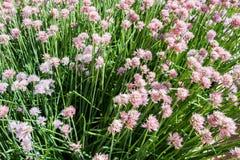 Belles fleurs roses de ciboulette Schnitt Photo libre de droits