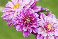 Belles fleurs roses de dahlia photographie stock libre de droits