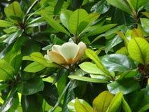 Belles fleurs roses de magnolia Images stock