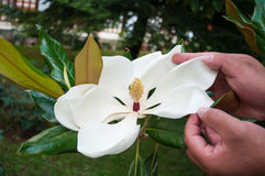 Belles fleurs roses de magnolia Photos stock