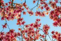 Belles fleurs roses de magnolia Photos libres de droits