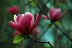 Belles fleurs roses de magnolia photo stock