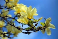 Belles fleurs roses de magnolia images libres de droits